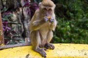 Курорты Пхукета заполонили дикие обезьяны