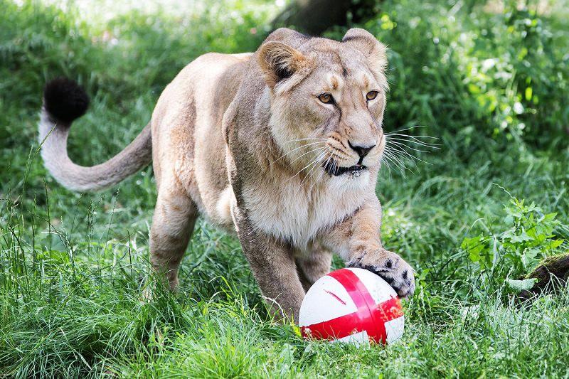 Азиатский лев. Фото: standard.co.uk