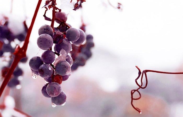 В январе в Канаде пройдет фестиваль ледяного вина
