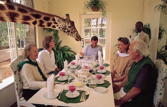 Жирафы не прочь полакомиться чем-то вкусненьким со столов